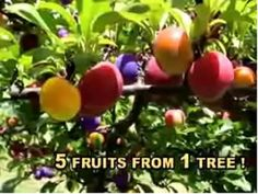 The Amazing Fruit Salad Tree grows five delicious fruits on one tree. Grow peaches, red plums, purple plums, nectarines and apricots in you yard. Grafting Fruit Trees, Grafting Plants, Plant Propagation, Fruit Garden, Garden Trees, Lawn And Garden, Orchids Garden, Apricot Tree, Plum Tree