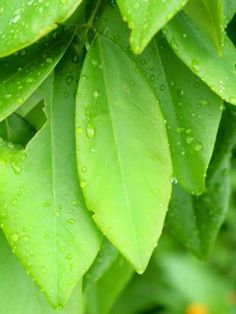 Many rainforest leaves share similar characteristics which include a smooth oval shape and draw down tip which not only sheds water, but also discourages algae and lichens from taking hold.