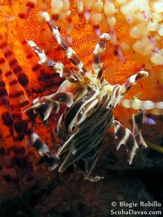 Zebra Urchin Crab, Philippines.  It lives on the highly poisonous Fire Urchin.  Also known as Adam's Urchin Crab and Fire Urchin Crab.  They grow only to a length of about 2cm.