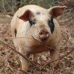 Organic Pig Feed