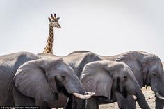 Intruder: In this photograph, a cheeky giraffe appears to have photobombed one of Bobby Jo's snaps