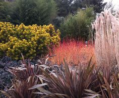 Sir Harold Hillier Winter Garden                 the brightly coloured stems of Cornus sanguinea, the purple spikes of Phormium, the soft creamy plumes of Miscanthus with the acid yellow of a dwarf Pinus.