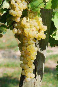 'Trebbiano Toscano' White Grapes