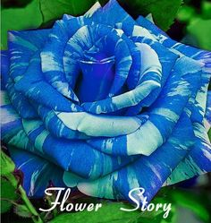 20 Blue Dragon Rose Seeds ,Rare beautiful stripe rose bush plant,garden or yard flower