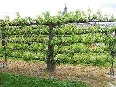 Espaliered tree French Potager Garden   Le Jardinier Fâché: Potager French Kitchen Garden