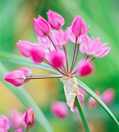 Oreophilum: A charming allium with cute pink blooms.