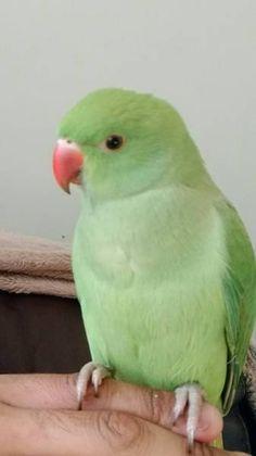 Cute Birds, Pretty Birds, Beautiful Birds, Cute Funny Animals, Cute Baby Animals, Ringneck Bird, Green Parrot Bird, Alexandrine Parrot, Flapping Bird