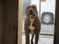 BLUE - URGENT - L.A. COUNTY ANIMAL CARE CONTROL: CARSON SHELTER in Gardena, CA - Adult Male Pit Bull Terrier