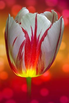'Raspberry Ripple' Tulip; by There and back again