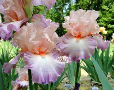 "Tall Bearded ""MY GINNY"" Iris - BEAUTIFUL RUFFLED PASTEL '00"