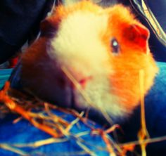 It is my cute guinea pig