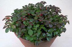 Gaultheria procumbens (Ericaceae)