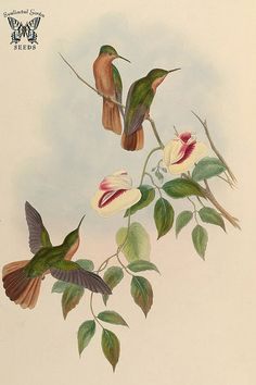 High climbing Clitoria sp., hosts hummingbirds on its branch. A monograph of the Trochilidæ, or family of humming-birds, vol. 2 (1861) [J. Gould & H.C. Richter]