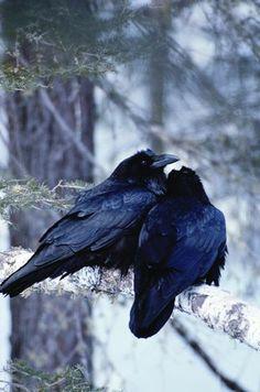 Crow love.