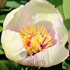Warmerdam Paeonia B. Peonies, Table Decorations, Growing Up, Flowers, Peony, Dinner Table Decorations
