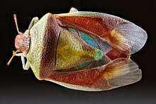 Banasa dimiata.   Kingdom: Animalia Phylum: Arthropoda.  Class: Insecta. Order: Hemiptera. Suborder: Heteroptera.  Family: Pentatomidae.  Subfamily: Pentatominae.  Tribe: Pentatomini.  Genus: Banasa.