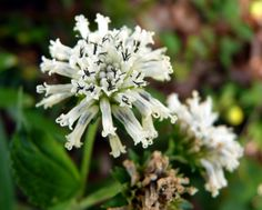 Snow Squarestem has high nectar value, and draws butterflies as well as bees and other pollinators.