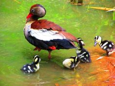 Photo Black-bellied Whistling-Duck (Dendrocygna autumnalis) by Henrique Mello