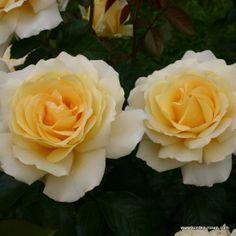 easy no spray roses on pinterest roses brothers grimm. Black Bedroom Furniture Sets. Home Design Ideas