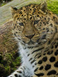 Stunning Male Amur Leopard