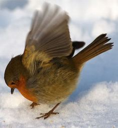 Active Robin in the snow.