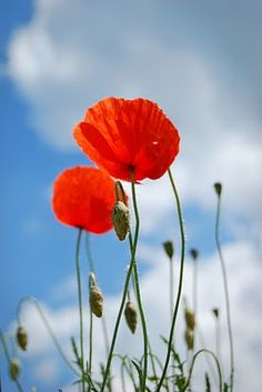 Coquelicots (aka Poppies)