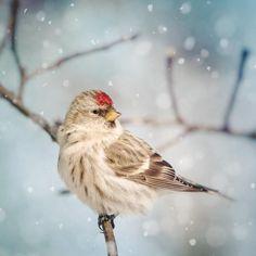 Fine art bird photography print of a cute little redpoll in the snow by Allison Trentelman.