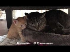 Ancient battle-scarred feral cat meets tiny kittens - YouTube