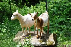 Thinking about getting goats for dairy or meat? Great tips in the beginners guide to goats. I'm thinking about the dairy options.