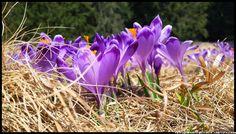 krokusy-w-Dolinie-ChocholowskiejTatra Mountains, Poland, crocuses, Zakopane, National Park, spring, wiosna , góry, kwiaty , flowers #Tatry #Tatra #Mountains #Poland #Polska #krokusy #crocuses #krokus #wiosna #spring #krajobrazy #góry #flower #kwiaty #flowers #Zakopane #Dolina #Chochołowska #landscape #photography
