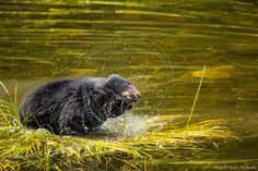 Shake it Off, Black Bear, Ketchikan, Alaska, Summer 2015