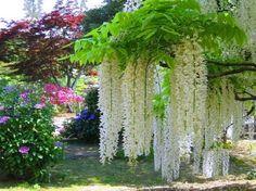 mudas de glicínias (wisteria)                                                                                                                                                                                 Mais