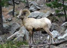 Black HIlls Big Horn Sheep