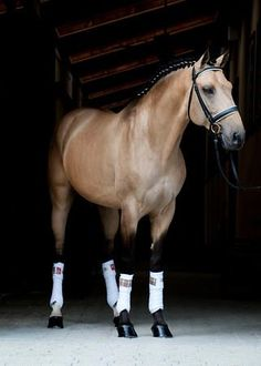 This buckskin Lusitano looks particularly dashing in his braids and Baker polo wraps.