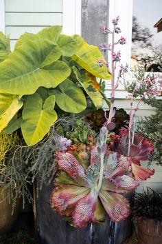 Fabulous echeveria hybrid!  Check out those caruncles!