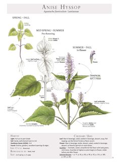 Anise Hyssop Agastache Foeniculum Plant Identification Page From Our Book Foraging Feasting A Field Guide And Wild Food Cookbook