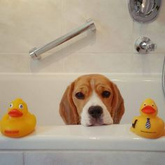 """Bath? I pass, thanks. #beagle"