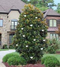 Little Tree Packs a Big Punch - Aptly named, the Little Gem has all the wonderful qualities you'd expect from a hardy magnolia and more.   Its ornate flowers--large (8 inches wide), white and creamy-- last longer than any of its cousins. The Little Gem Magnolia is such an early bloomer, it will spend half the year showing off...