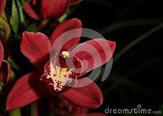 Blooming dark orchid Cymbidium flower.