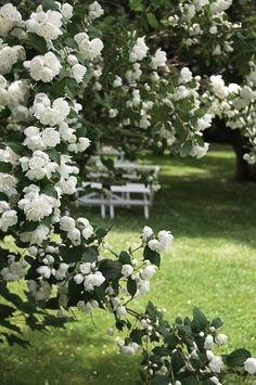 White Flowers Garden ~~ [Mock Orange, maybe? Types Of White Flowers, White Roses, Beautiful Gardens, Beautiful Flowers, The Secret Garden, Mock Orange, Climbing Roses, Rose Cottage, White Cottage