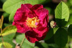 Rose 'Alain Blanchard'