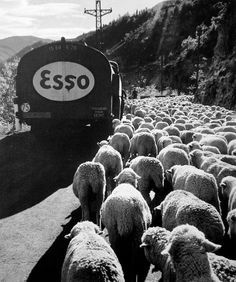 Robert Doisneau // Sheep transhumance, Alpes-Maritimes, 1958 in France.