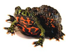 Ahh, the Oriental fire bellied toad (Bombina orientalis). These are my favourite (pet) toads. I would love to have two in these colors. The green one would probably be named Imre and the brown one Chuck.