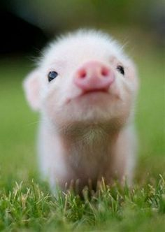 This picture deserves a sequel, I mean, it does not get any nicer. it literally - Tiere Bilder - Animals Wild Cute Baby Pigs, Baby Animals Super Cute, Cute Little Animals, Cute Funny Animals, Cutest Animals, Baby Piglets, Baby Animals Pictures, Cute Animal Photos, Animals And Pets
