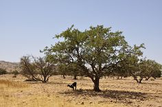 Goats in argan trees, Sousse, southern Morocco (18) -