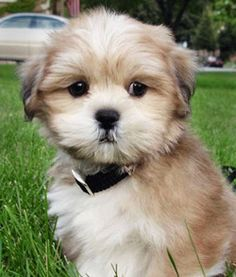 Chien tibétain, le #Lhassa apso très apprécié des enfants, chien de petite taille d'un poids allant de 4 à 7 kilos - D'autres infos sur http://www.docanimo.com/lhassa-apso/