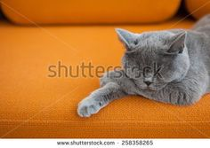 stock-photo-cat-sleeping-on-a-couch-258358265