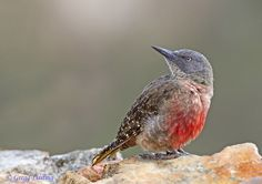 The Ground Woodpecker of South Africa is not bound to trees but rather lives in open rocky terrain and grassy slopes. http://ift.tt/2bTQLQC