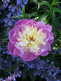 Peony with nepeta at Wollerton Old Hall