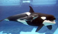 """Kohana, which is Japanese for """"little flower,"""" is the name of SeaWorld San Diego's newest killer whale calf (Orcinus orca), and first Grandbaby Shamu. Beautiful Creatures, Animals Beautiful, Whale Pictures, Baby Animals, Cute Animals, Fauna Marina, Delphine, Ocean Creatures, Killer Whales"""